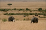 Elephants on the plains