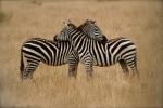 Loving zebras