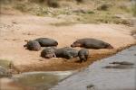 Sunbathing hippopotamuses
