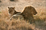 Lion and lioness on honeymoon