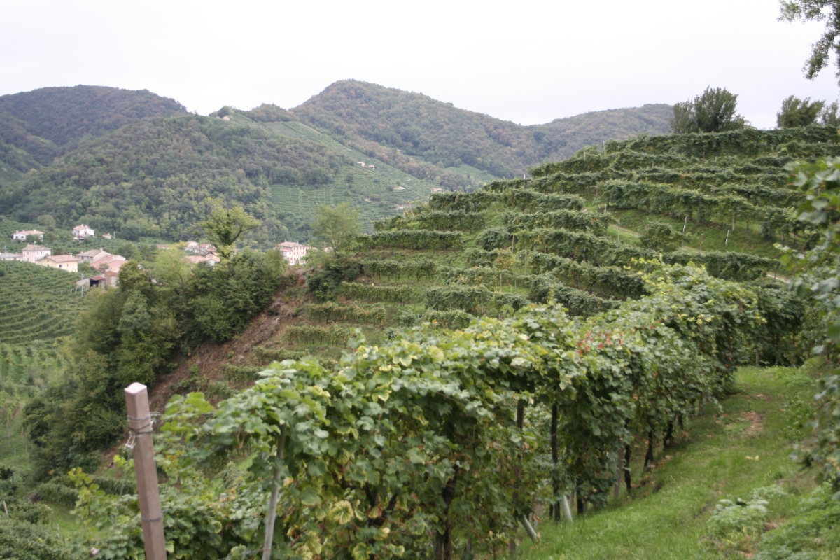 Vines on a hillside